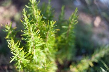 Rosemary f/1.4 1/1600s ISO200